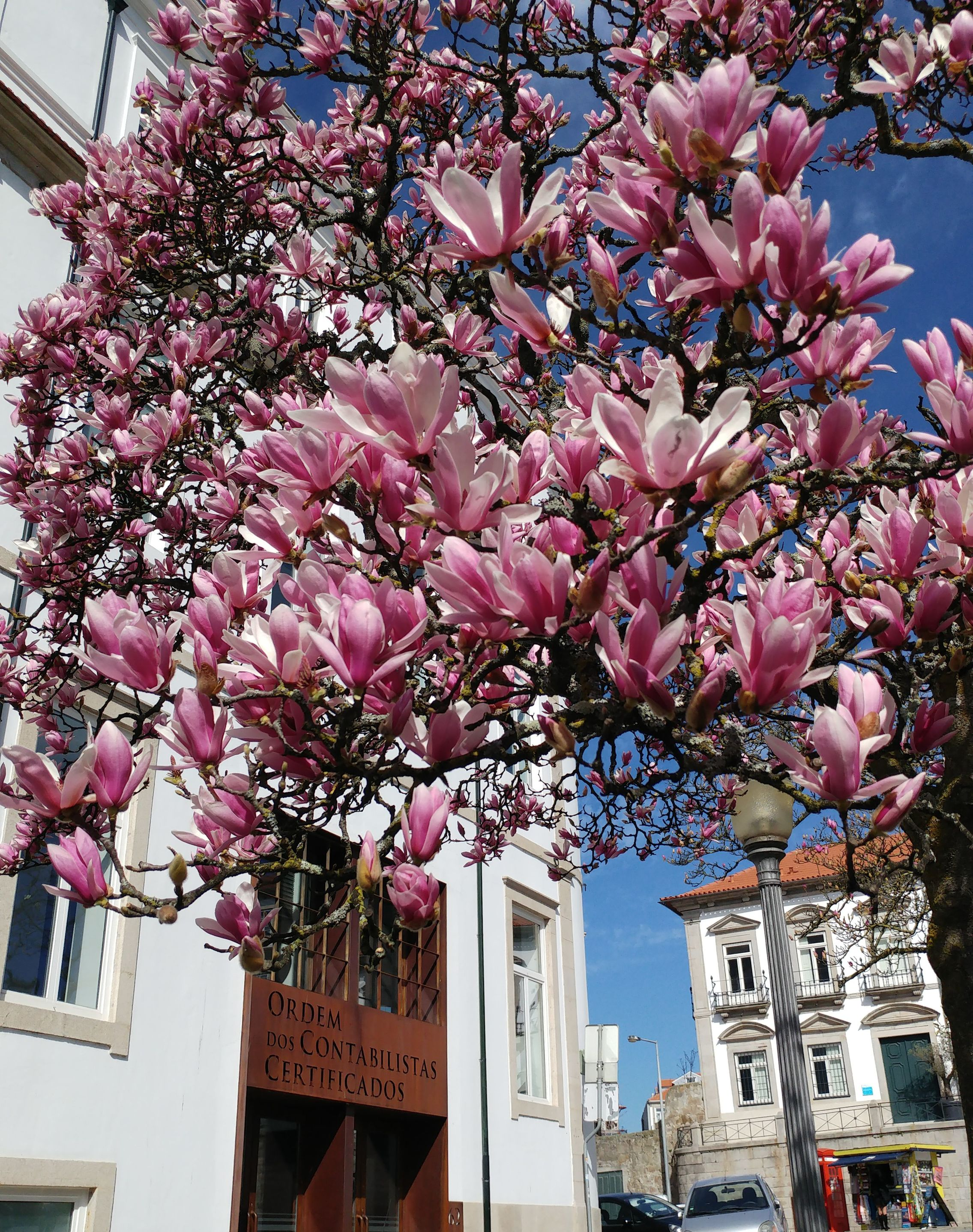 Magnolia blooming in Porto